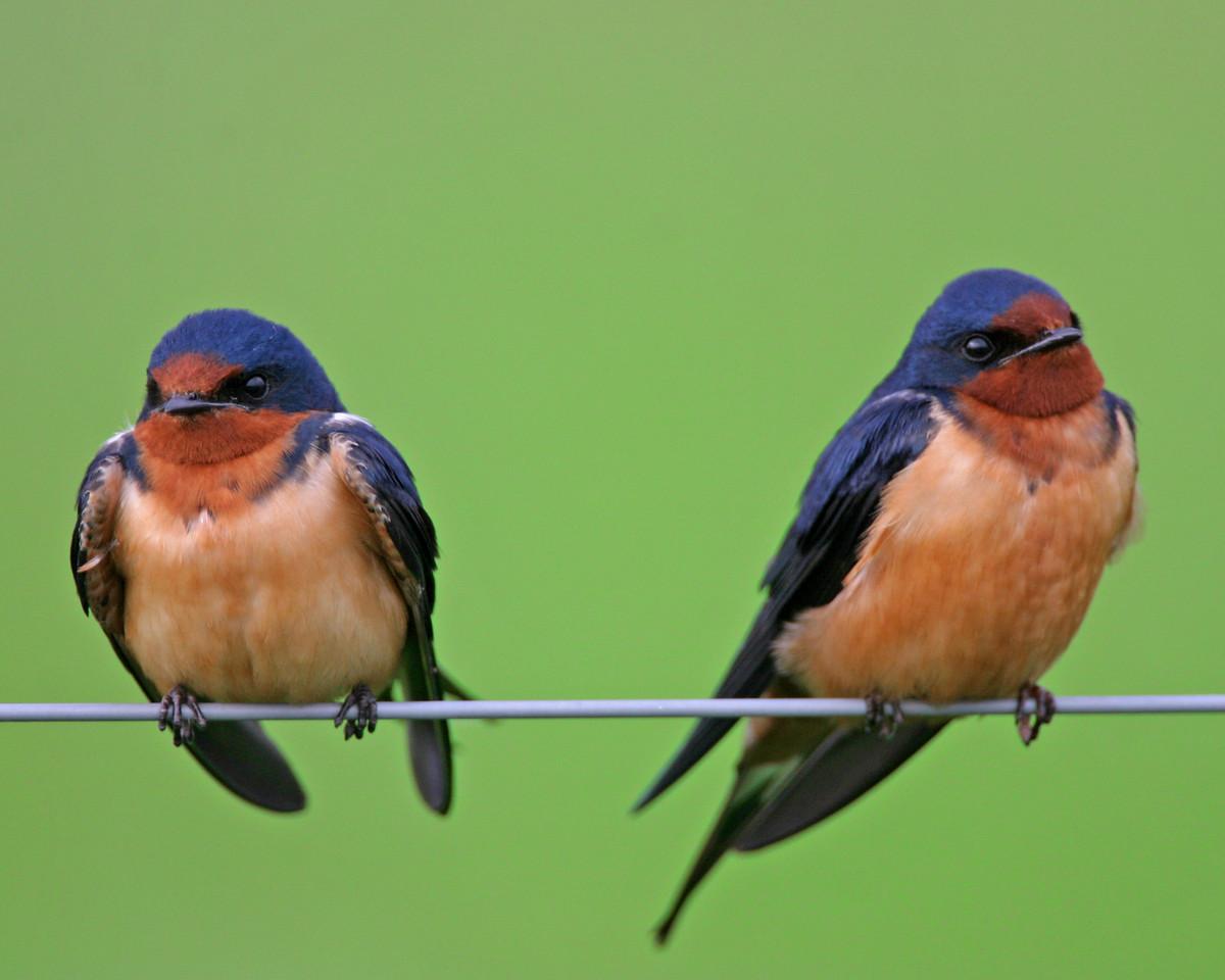 Barn Swallows, Chinook Mine North, Vigo County, Indiana, May 1, 2006.