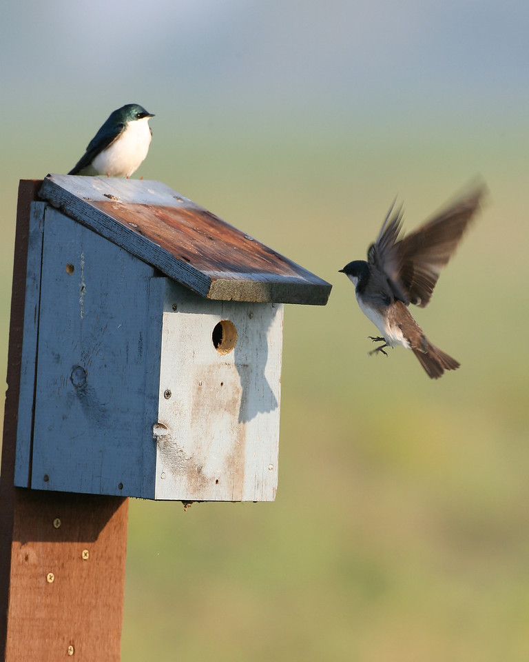 Tree Swallows in nest box I placed at Chinook Mine just two weeks ago.  It appears the female is already feeding young inside box.  May 10, 2008.