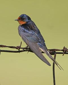 Barn Swallow, Chinook Mine, Vigo County, Indiana, June 19, 2006
