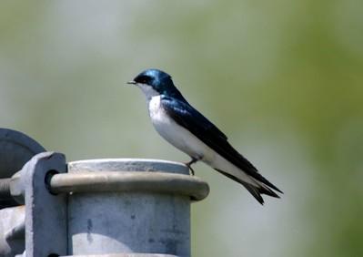 Tree Swallow, Chinook Mine, Vigo County, Indiana, May 2005.