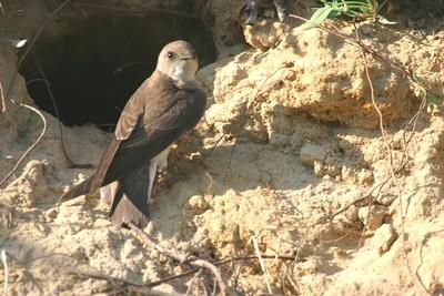 Bank Swallow, Jasper-Pulaski Wildlife Refuge, May 24, 2005