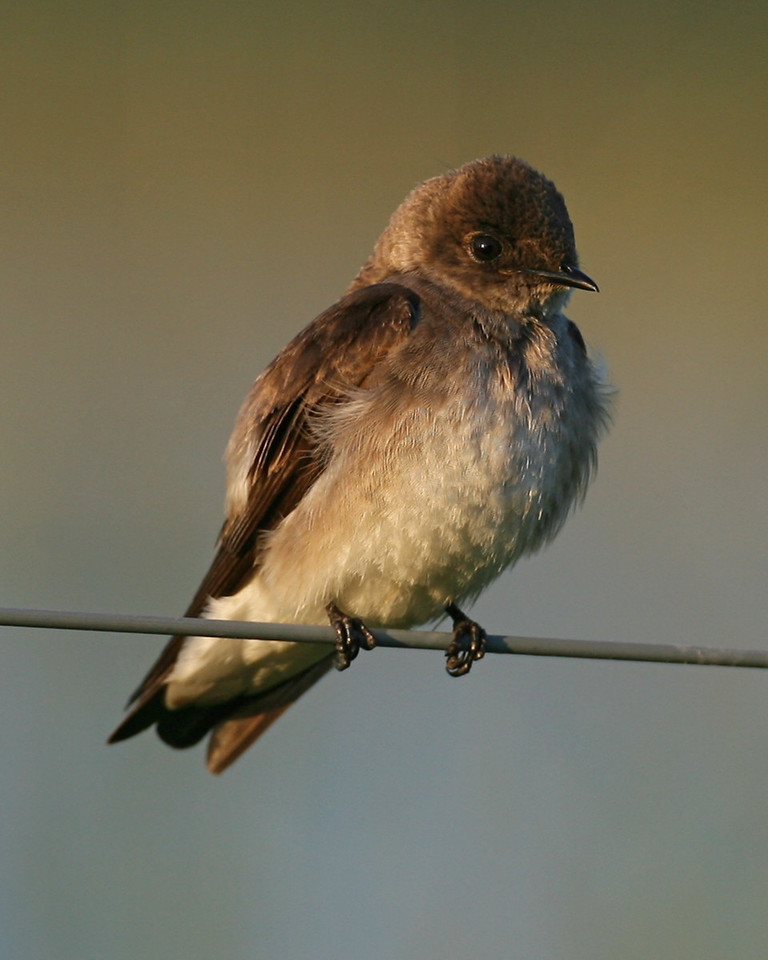 Northern Rough-winged Swallow, Chinook Mine North, May 12, 2007.