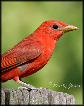 Tanagers - Each of the two species expected in Indiana have been photographed
