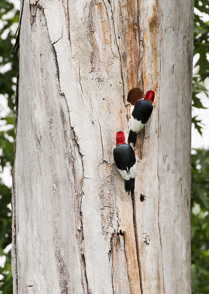Red-headed Woodpecker at nest, Photographed along the river levee on the Rothrock property, Vigo County, Indiana, Big May Day Bird Count, May 12, 2012.  Red-headed Woodpecker nest was in same tree and only 10 feet above northern flicker nest hole.