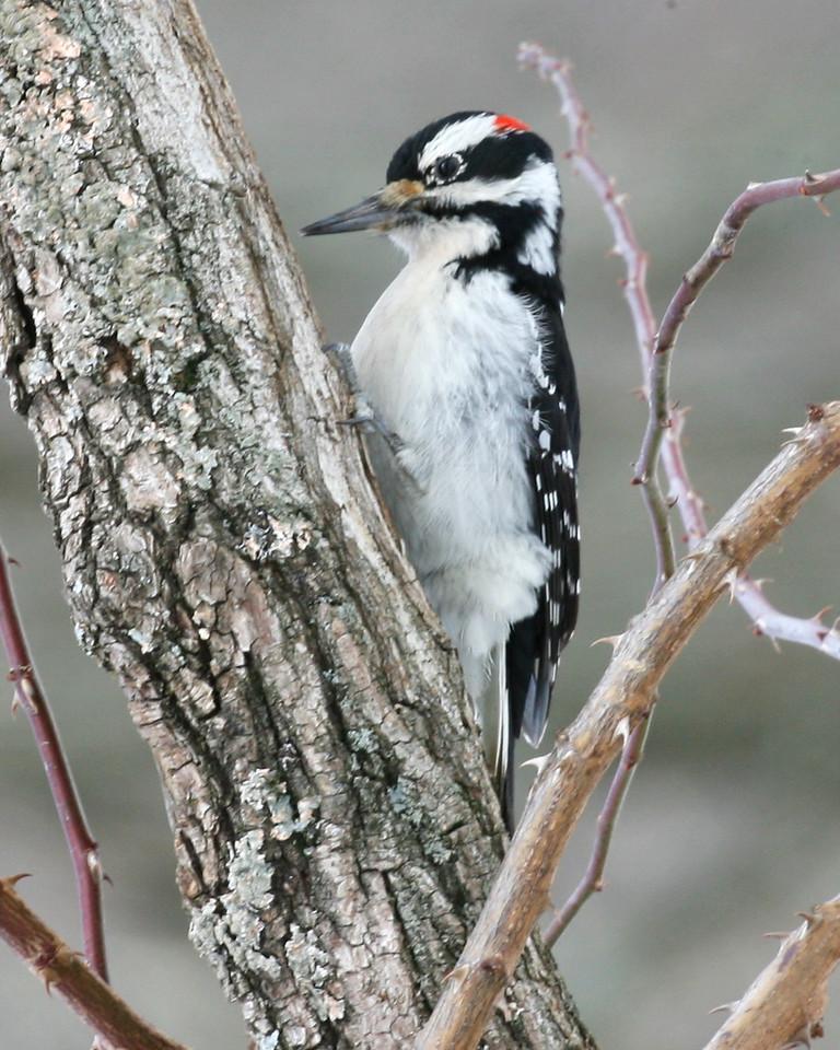 Hairy Woodpecker, Mary Grey Bird Sanctuary, Fayette County, Indiana, February 22, 2007.