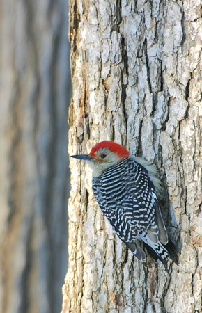 Red Bellied Woodpecker, Terre Haute, Dec 19, 2004.
