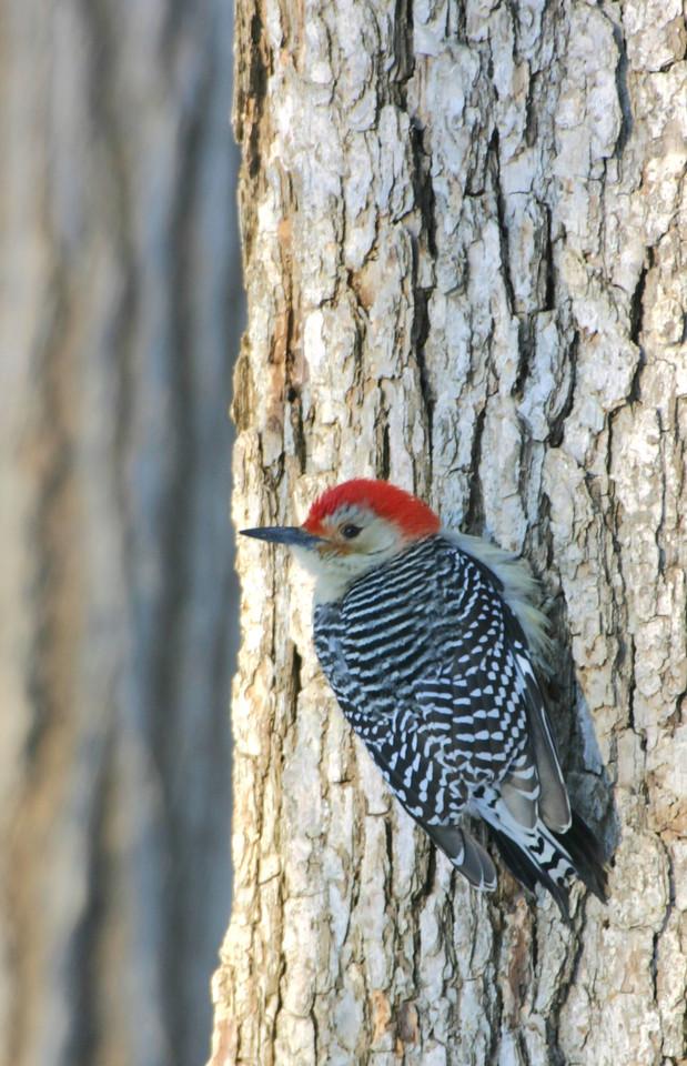 Red Bellied Woodpecker, Terre Haute, Dec 19, 2004.