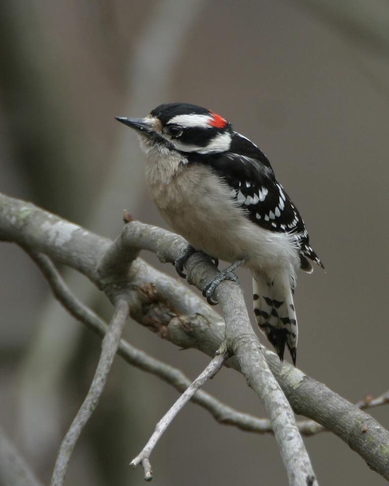 Downy Woodpecker, Backyard, Vigo County, Indiana, March 29, 2006.