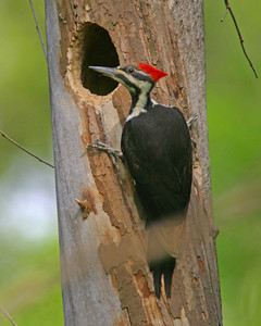 Pileated Woodpecker, CR 250 South, Putnam County, Indiana, April 28, 2006.