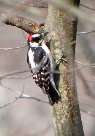 Hairy Woodpecker, Forest Park, North Terre Haute, Indiana, Feb 26, 2005.