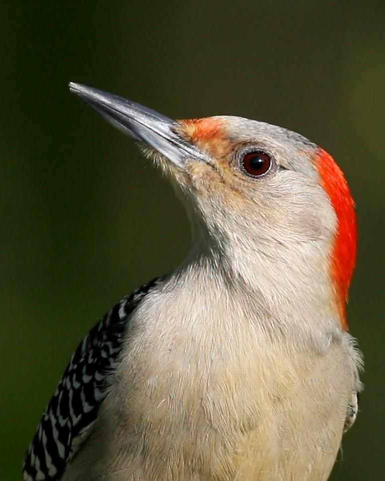 Red-bellied Woodpecker, May 6, 2008.  Visiting the suet feeder in backyard, NE Vigo County, Indiana.